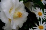デンパーク温室 椿とマーガレット