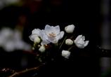 安城梨の花 桜に負けてません。