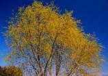 自転車道脇の柳の新芽が黄金色に!