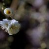もーすぐ春ですね#2 まず一輪 @龍尾神社