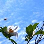 RICOH IMAGING PENTAX K-3で撮影した(シャラの花と梅雨の合間の青空 @我家のシンボルツリー)の写真(画像)