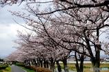 安城自転車道 桜並木