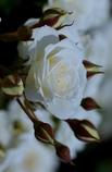 White Cream @西尾憩の農園