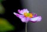 秋明菊(紫) @我家のガーデニング