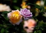 西尾のバラ #1