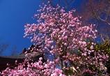 青と桃のコントラストが @岩津天満宮