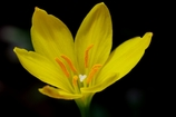 黄色のゼフィランサス @我家のガーデニング