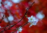 四季桜と紅葉のコラボ @岩屋堂