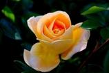 薔薇#3 @ミササガパーク