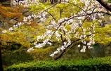 岡崎城公園 桜 色々