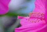 祝タイタンビカス開花 @我家のガーデニング