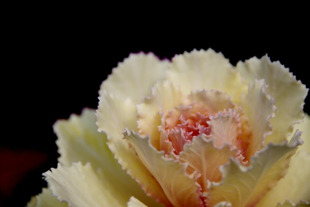 葉牡丹 白