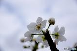安城自転車道 桜並木 の 横の梨の花