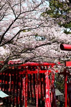 鳥居と桜。
