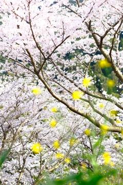 桜と菜の花。