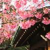 彩の寒緋桜