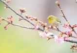 桜の咲く頃〃