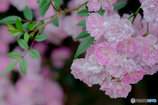 ひそやかに咲く
