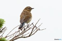 170813 ルリビタキ幼鳥