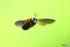 クマバチの飛行  180422