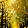 秋深まる銀杏並木
