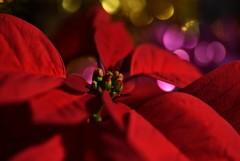 ★**Poinsettia dream★**