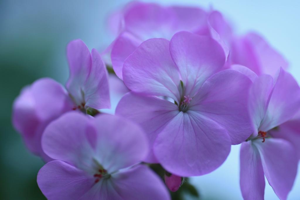 "Pink Geranium♪**"""