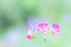 """Fancy geranium♪**"""""""