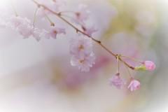 """桜...刹那な時*"""""""