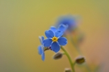 """*"""" forget-me-not *"""""""