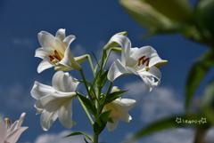 夏空と百合の花