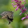 火曜日の蝶々