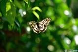 蝶のように