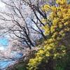 春の共演【桜 ミモザ】