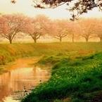 CANON Canon EOS Kiss X7iで撮影した(朝陽と桜と白鷺と)の写真(画像)
