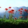 山里の彼岸花