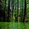 新緑の木立