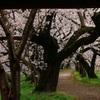 超巨木の桜並木