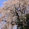 CANON Canon EOS Kiss X7iで撮影した(しだれ桜)の写真(画像)