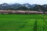 雨の桜並木