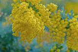 アカシアの花-1.