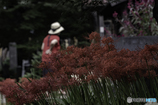 DSC09537 彼岸花の咲く候