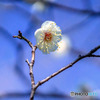 DSC06671-公園の梅-梅と青空