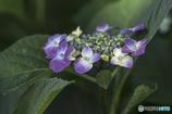 DSC06375 紫陽花-2