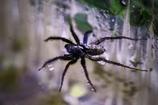 ギャング蜘蛛?