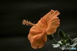 DSC08537お盆に咲いたハイビス