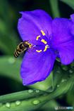 DSC04403 蜂と紫露草-2