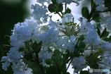 DSC05824 夏の白雪?