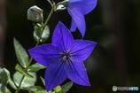 DSC05057桔梗13番 寂しい花と云う人も居ます
