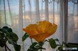 DSC01574.咲きました冬至の朝発一番 jpg
